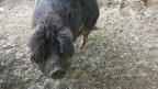 Die Wollensau geniesst ihren Auftritt an der Viehschau im Aargau