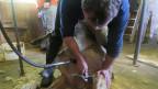 Schafe scheren: Die richtige Maschine ist wichtig, aber nicht nur.