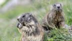 Zwei Murmeltiere auf einer Wiese.