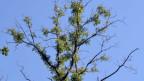 Das Eschensterben und die Folgen für die Natur