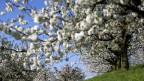 Ein blühender Kirschbaum.