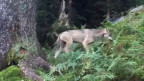 Unscharfe Fotografie: Wolf im Wald