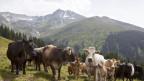 Mutterkuh-Herden in Wanderregionen sollen eingezäunt werden. Die Frage ist, wer den Aufwand bezahlt.