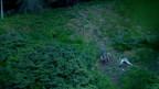 Drittes Wolfsrudel in Graubünden bestätigt
