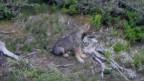 Jungewolf des Beverinrudels steht an einem Wiesenbort