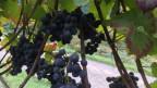 Traubenstock mit prallen Früchten in einem Rebberg in Eglisau