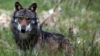 Ein Wolf steht in hohem Gras und schaut direkt in die Kamera des Fotografen.