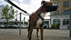 Pittbulls gehören zu den Hunderassen, die obligatorisch in die Kurse mussten.