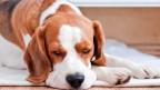 Ein Beagle liegt an einem Heizkörper