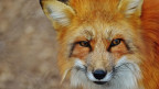 Las «veglias vulps» tranter ils chors en l'emissiun dad oz