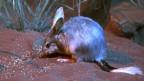 «Bilby» il bursalin dal nas lung è simbol da Pasca en Australia