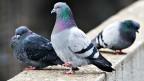 Tauben: Wenn sie in zu grosser Zahl auftauchen, wird es auf Plätzen und in Fussgängerzonen ungemütlich.