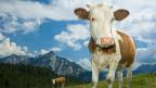 Verhalten neugierig: Kühe auf der Weide müssen sich an Eindringlinge gewöhnen.