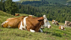 Kühe liegen auf der Alpweide.