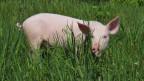 Ein Schwein im hohen Gras.