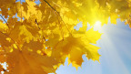 Gelbe Ahornblätter am Baum, strahlender Sonnenschein.