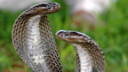 Auf den Pistolenkugeln eingraviert: Der Kopf einer Cobra (Bild: Keystone)