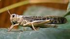 Eine Heuschrecke sitzt auf einem Blatt.