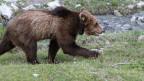 Bär mit Senderhalsband rennt durchs Bild.