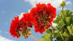 Rotes Geranium gross im Bild mit Himmel im Hintergrund.