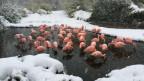 Flamingos im Zoo Zürich harren im Schnee aus.