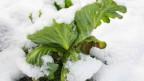Ein Kohl unter Schnee.
