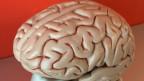 Das Modell eines Hirn, ca. 10x20 cm.