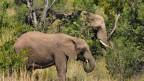 Im afrikanischen Busch, Bäume und dazwischen zwei Elefanten.