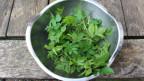 Grüner Giersch