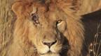 Löwe mit einer Verletztung am rechten Auge.