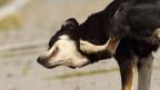 Schwarz Weiss gefleckter Hund kratzt sich mit Hinterbein hinter den Ohren.