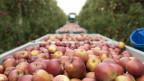 Ernte der beliebten Braeburn-Äpfel. Sie werden massenweise angebaut.