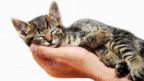 Eine getigerte Katze liegt schmusend auf der Hand eines Menschen.