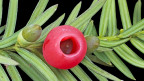 Gemeine Eibe, Taxus baccata.