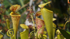 Nepenthes Madagascariensis.