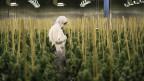 Ein Halle, in der Cannabis gepflanzt wird. Eine Person steht in der Mitte des Feldes und erntet. Die Person trägt einen Schutzanzug.