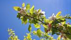 Apfelbaum in voller Blüte.