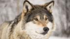 Wolf in Nahaufnahme.