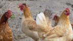 Eine kleine Hühnerschar.