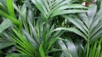 Nahaufnahme der gefiederten Blätter der Kentiapalme.