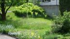 Der Wurmfarn ist einheimisch und ein in Europa sehr verbreiteter Waldfarn.