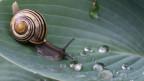 Bänderschnecke auf Blatt, auf dem Wasserperlen liegen