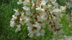 Blüten der Robinie