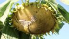 Bild von einer Sonnenblume