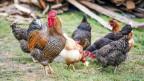 Hühner picken draussen nach Futter.