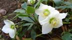 Christrose mit drei schneeweissen Blüten.