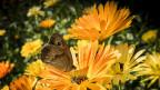 Ein Schmetterling auf einer Wiese.