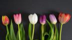 Verschiedene Tulpen vor dunkler Wand