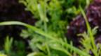 Verschiedene Salatsorten.