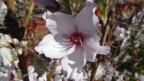 Eine geöffnete Mandelblüte.